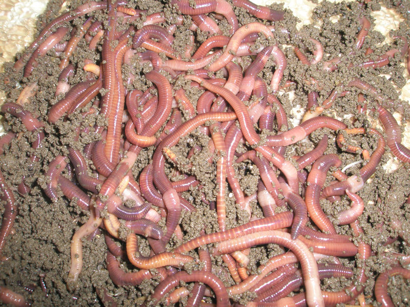 Scholder's research focuses on using red worms, which eat their own weight in biosolids every day, for vermistabilization. Photo courtesy of Scholder.