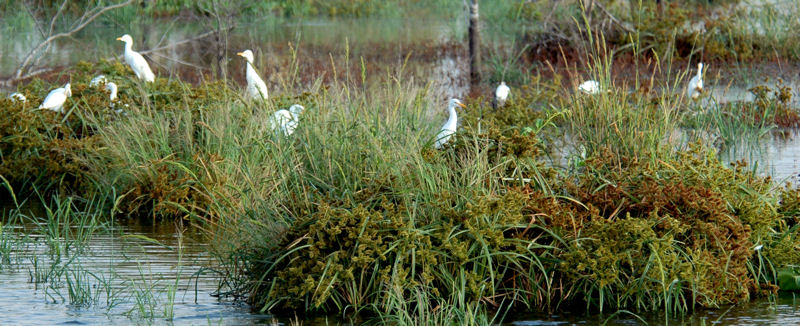 Since its completion in October 2013, the George W. Shannon Wetlands have become a place where a diversity of species thrives, including egrets. Photo courtesy of Tarrant Regional Water District (Fort Worth, Texas).