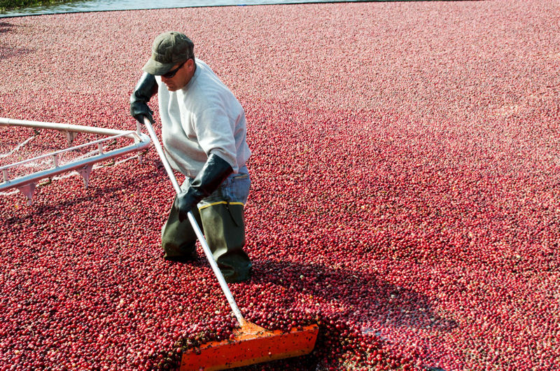 Local water uses such as in harvesting cranberries in Wisconsin will take the spotlight in the H2O Today exhibit. Photo courtesy of Helen Chen, Rochester, Minn.