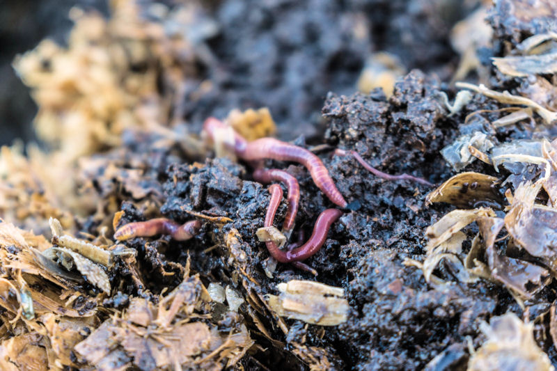Earthworms burrow numerous channels that provide passive aeration while digesting large solids and depositing them into micoribal rich castings. Photo courtesy of Sina Pram, BioFiltro (Santiago, Chile).