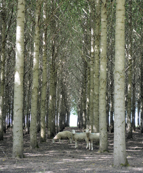 More than 150 sheep help poplar trees grow on Biocycle Farm, located in Eugene, Ore., by eating tall grasses that consume valuable water and nutrients. Photo courtesy of Metropolitan Wastewater Management Commission (MWMC; Lane County, Ore.).